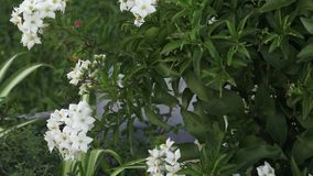 Ornamental shrub with white flower. Popular as ornamental plant. stock video