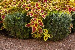 Ornamental shrubs Royalty Free Stock Photos