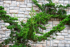 Ornamental shrubs thuja on the background wall Stock Photography