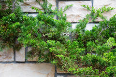 Ornamental shrubs thuja on the background wall Stock Photo