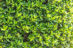Ornamental shrubs ,Wall shrubs Royalty Free Stock Photography