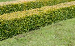 Ornamental Square Cut Box Hedge Royalty Free Stock Photos