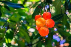 Ornamental Strawberry tree Arbutus unedo fruits, San Francisco bay area, California royalty free stock photo