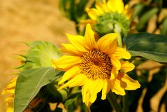 Ornamental sunflower Stock Images