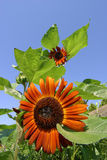 Ornamental sunflower garden Royalty Free Stock Photo