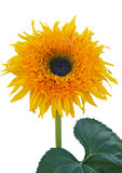 Ornamental sunflower Stock Image