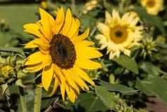 Ornamental sunflowers in bloom Stock Photo