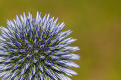 Ornamental Thistle. Detail of a blue globe thistle - Echinops Ritro against natural background Royalty Free Stock Image