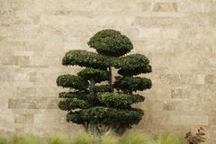 Ornamental tree in front of a wall Stock Photography