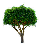 Ornamental tree. Isolated over white background Stock Photo