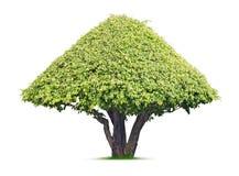 Ornamental tree. Tree isolated on white background Royalty Free Stock Photos