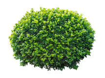 Ornamental tree Royalty Free Stock Photo
