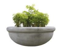Ornamental tree in a pot Stock Photo