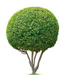 Ornamental tree. Round tree isolated on white background Royalty Free Stock Images