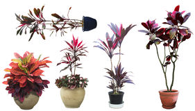 Ornamental tree set in a pot Stock Photography