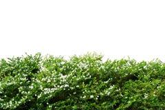 Ornamental tree Stock Photography