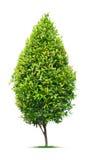 Ornamental tree. On white background Stock Image