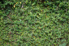 Ornamental trees wall. Ivy wall. green plants wall. Royalty Free Stock Images
