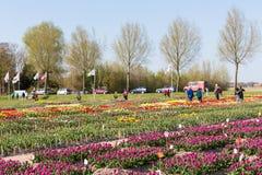 Ornamental tulip garden in tthe Netherlands Stock Image