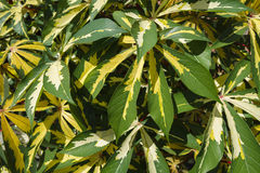 Ornamental Variegated Cassava Plants. A group of tropical ornamental cassava plants with variegated green and yellow palmate leaves on a sunny day. Another name Royalty Free Stock Images