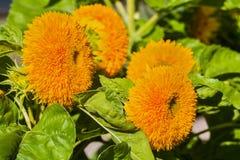 Ornamental varieties of sunflowers in the garden. Bright orange flowers in full bloom. Selective focus, closeup Stock Photos