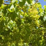 Ornamental vineyard at summer Royalty Free Stock Photos
