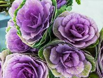 The purple cauliflower. The Ornamental violet cabbage flower as a decoration Royalty Free Stock Image
