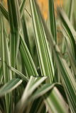 Ornamental white and green leaves Stock Photography