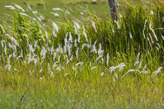Ornamental wild grasses in Florida Royalty Free Stock Image