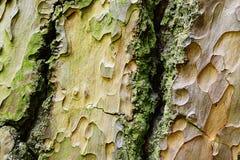Ornamental wood texture of bark of Ponderosa Pine Pinus Ponderosa Stock Images