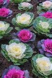 Ornamentalschnittkohl im Garten Stockfotografie
