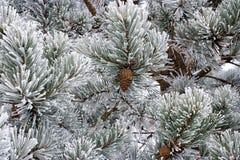 Ornamenti della natura di inverno Immagini Stock
