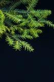 Ornamenti di Natale e rami del pino su fondo nero Palle porpora e verdi di natale sul ramo attillato verde Sfere di natale Fotografie Stock