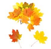 Ornamento dalle foglie di acero Immagini Stock