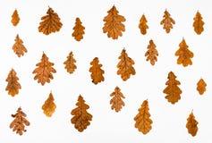 ornamento das folhas de outono do carvalho comum Fotografia de Stock Royalty Free