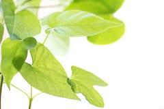 Ornamento das folhas novas do fundo do branco do Ipomoea Imagens de Stock
