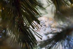 Ornamento de cristal adornado acurrucado en cierre del árbol de pino para arriba Fotografía de archivo libre de regalías