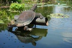 Ornamento de la tortuga que refleja en la charca del lirio Imagenes de archivo
