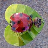 Ornamento della coccinella laccato metallo in Nevada Cactus Nursery fotografia stock libera da diritti