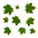 Ornamento isolato delle foglie di acero verdi Fotografie Stock