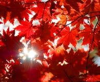 Ornamento otoñal, hojas rojas del arce Foto de archivo