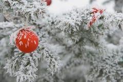 Ornamento vermelho do Natal em uma árvore de abeto Fotografia de Stock
