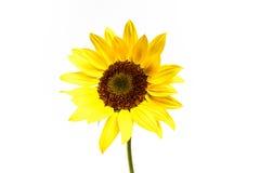 Ornamentu słonecznik Zdjęcie Stock