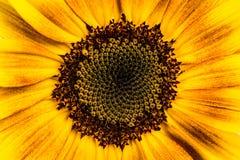 Ornamentu słonecznik Obrazy Royalty Free