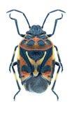 Ornata di Eurydema dell'insetto Fotografia Stock