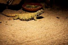 Ornata di Uromastyx che risiede nella sabbia immagine stock libera da diritti