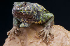 Ornata Mastigure Royalty Free Stock Photography