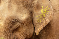 Ornate asian elephant Stock Photos