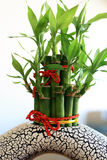 Ornate bamboo plant. Lucky bamboo (Dracaena sanderiana) in a chinese porcelain pot Royalty Free Stock Photo