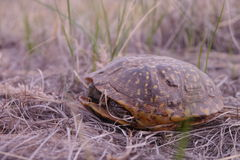 Ornate Box Turtle (Terrapene ornata) Stock Photography